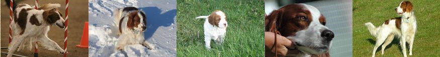 Irish Red & White Setter Club of Canada